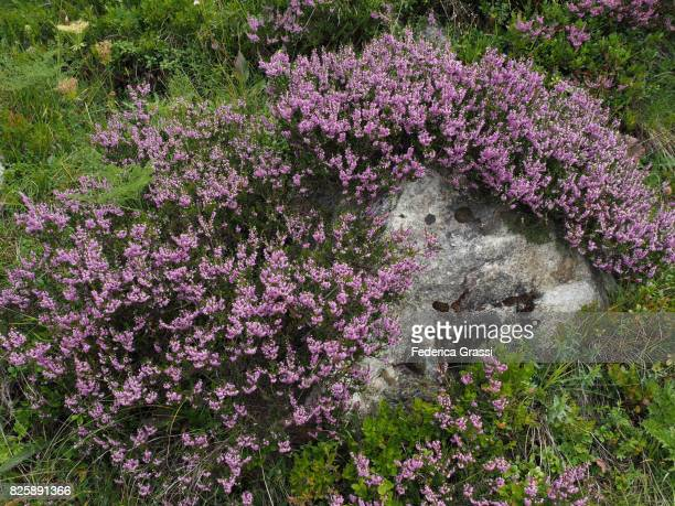Calluna Vulgaris (Heather, Ericaceae Family)