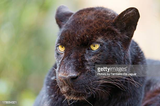calm black leopard - black panther face stock photos and pictures