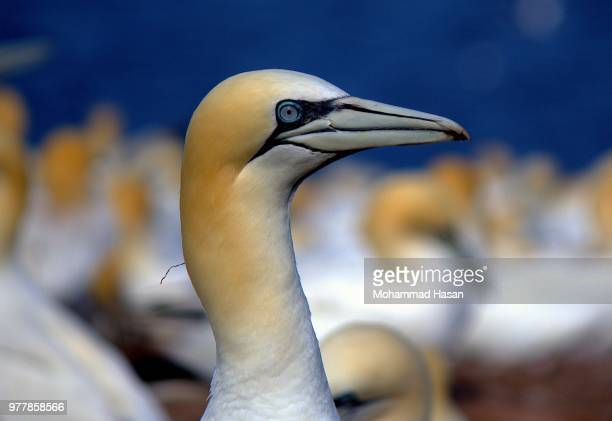 calm eye of northern gannet - gannet stock photos and pictures