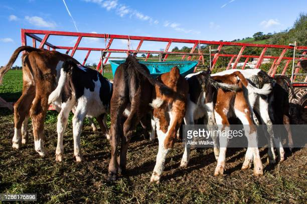 calves drinking milk from feeder - fanny pic stock pictures, royalty-free photos & images