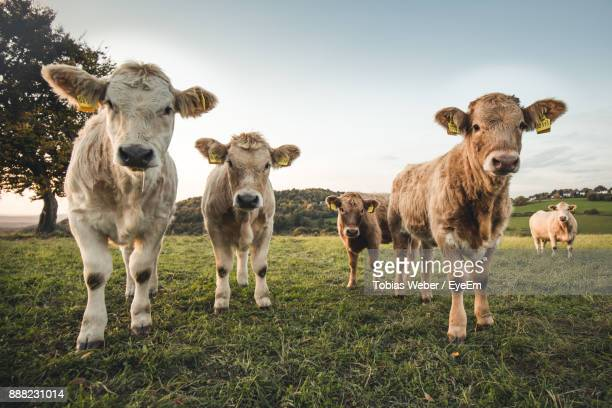 calves grazing on grassy field - calf stock pictures, royalty-free photos & images