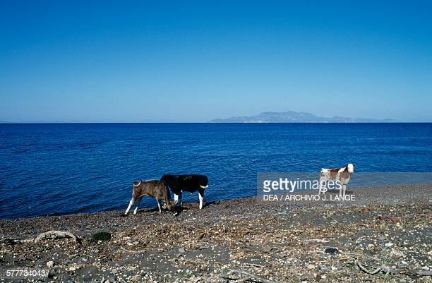 Calves on the beach, Nisyros island, Greece.