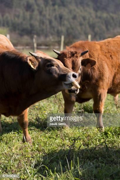 calves - due animali foto e immagini stock