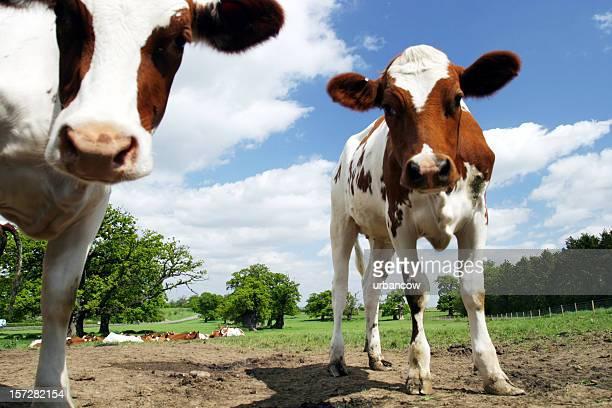 Calves staring