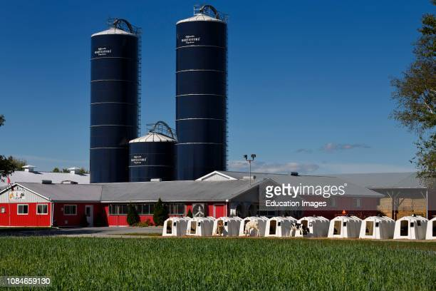 Calves tethered to white plastic calving huts at a dairy farm with blue silos of grain and red livestock barns in Prince Edward County Ontario Canada.