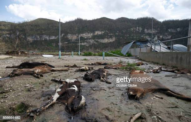 Calves who died in Hurricane Maria decompose in a field at the Ortiz Rodriguez Dairy Farm in Arecibo Puerto Rico on Oct 01 2017 Puerto Rico was...