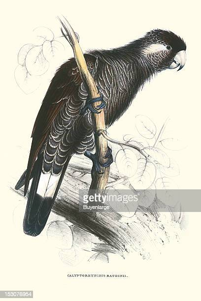 Calyptorhynchus Baudinii or Baudin's Black Cockatoo 1831 From 'Illustrations of the Family of Psittacidae or Parrots' by Edward Lear