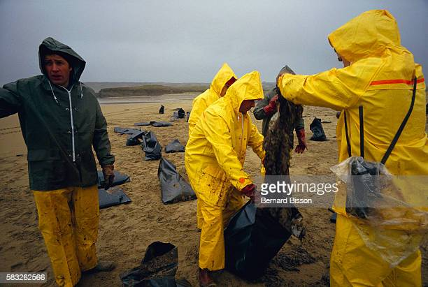 Camaret, Brittany. Cleanup operations begin after an oil spill from Italian petrol tanker Amazzone which leaked 3000 tons of crude oil along the...