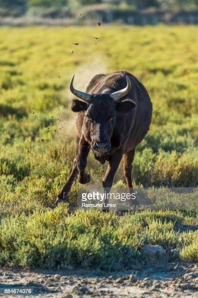 Camargue Bull Threaten, Saintes-Maries-de-la-Mer, Parc naturel régional de Camargue, Languedoc Roussillon, France