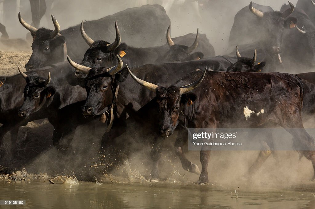 Camargue bulls running across water, aigues Mortes,Camargue, Gard, France : Stock Photo