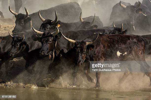 camargue bulls running across water, aigues mortes,camargue, gard, france - bullock stock photos and pictures