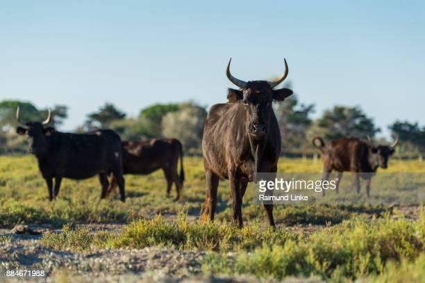 camargue bulls, saintes-maries-de-la-mer, parc naturel régional de camargue, languedoc roussillon, france - サントマリードラメール ストックフォトと画像