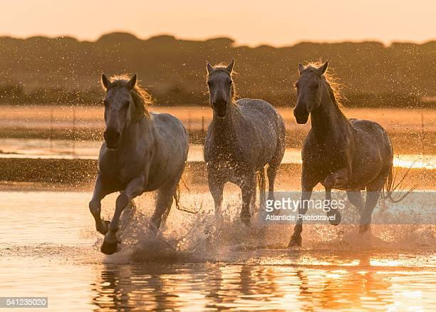 Camargue - Camargue horses