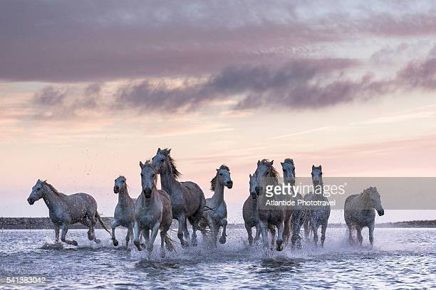 camargue - camargue horses - large group of animals stock pictures, royalty-free photos & images