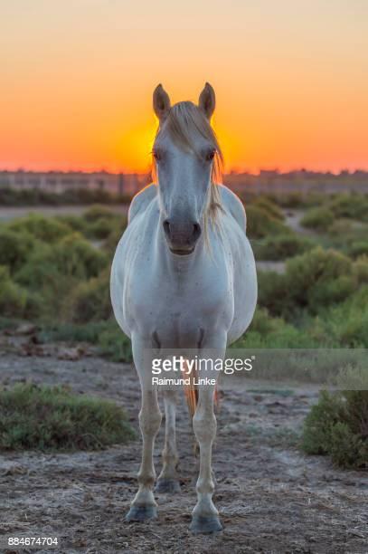 Camargue Horse at Sunrise, Saintes-Maries-de-la-Mer, Parc naturel régional de Camargue, Languedoc Roussillon, France