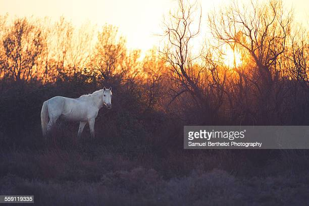 Camargue horse at sunset
