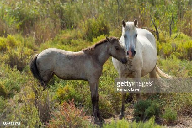Camargue Horse, Mare with Foal, Parc naturel régional de Camargue, Languedoc Roussillon, France