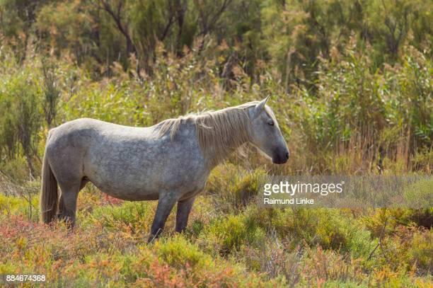 Camargue Horse, Parc naturel régional de Camargue, Languedoc Roussillon, France
