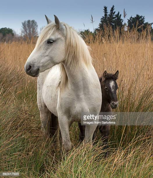Camargue horse with foal, France