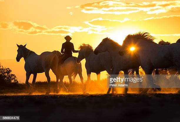 Camargue horseman with white horses at sunset