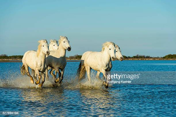 White Horse Stock Photos And Pictures Getty Images