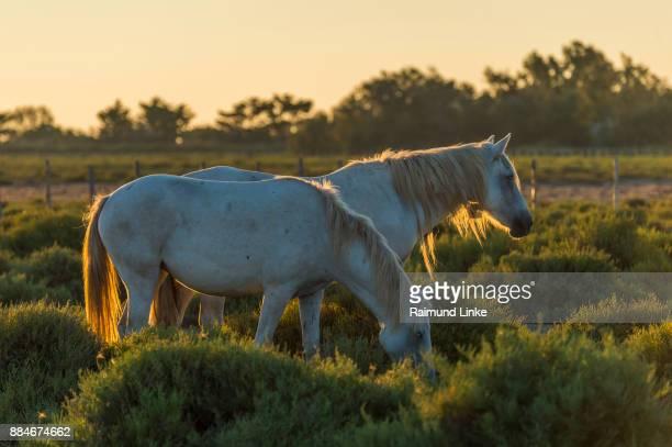 Camargue Horses at Sunrise, Saintes-Maries-de-la-Mer, Parc naturel régional de Camargue, Languedoc Roussillon, France