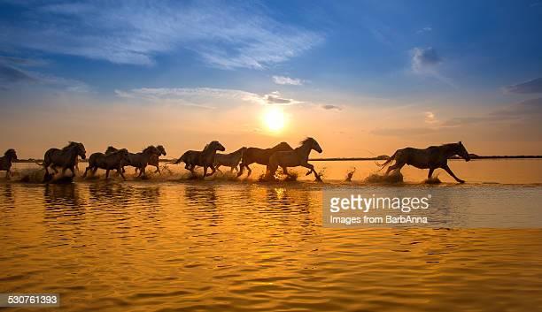 Camargue Horses at Sunset