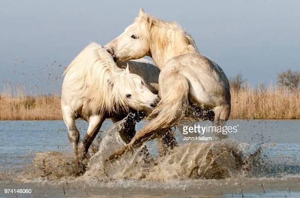 camargue horses fighting in water, camargue, france - vida selvagem imagens e fotografias de stock