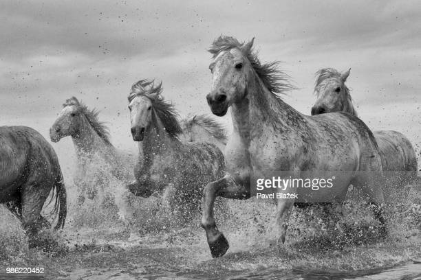 camargue horses galloping through water. - horses running stock pictures, royalty-free photos & images