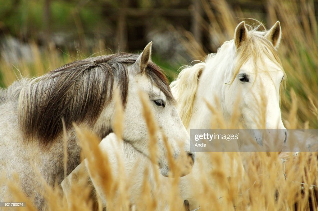 Camargue horses in a reed bed in the Camargue Regional Nature Park.