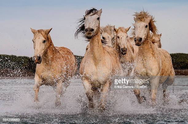 Camargue Horses Running In Lake