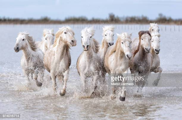 camargue horses running in water, france - bouches du rhone stock pictures, royalty-free photos & images