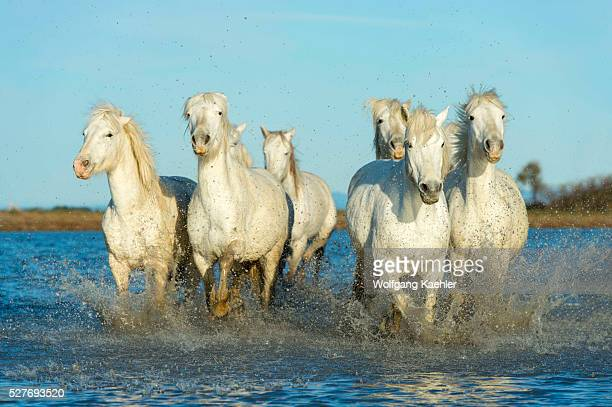 Camargue horses running towards the camera through the water of a marsh in the Camargue in southern France