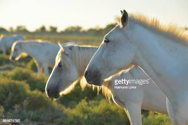 Camargue Horses, Saintes-Maries-de-la-Mer, Parc naturel régional de Camargue, Languedoc Roussillon, France
