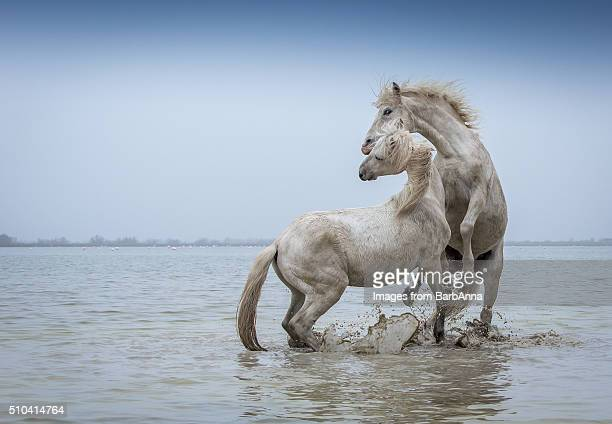 Camargue Horses - Two white Camargue Stallions play flighting in water, Camargue region, France