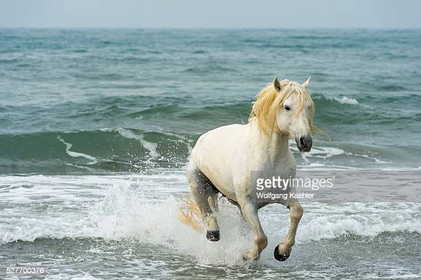Camargue stallion is running through the surf of the Mediterranean Sea at a beach in the Camargue southern France