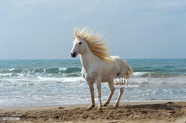 Camargue stallion on a beach in the Camargue southern France