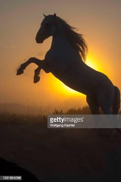 Camargue stallion silhouetted at sunrise rearing up in the sand dunes at a beach in the Camargue southern France