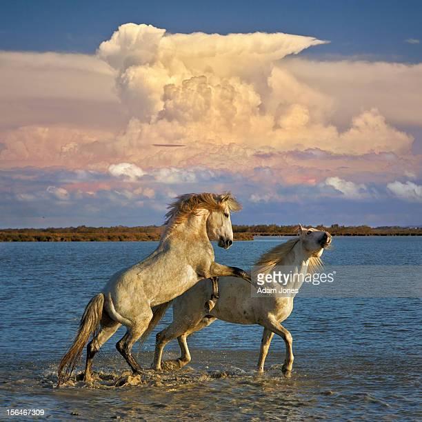 Camargue stallions fighting in marsh