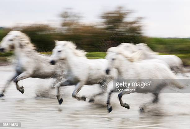 Camargue white horses galloping through water