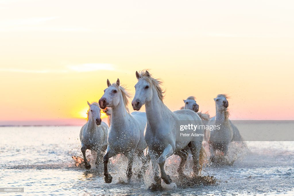 Camargue White Horses Running In Water At Sunset Fine Art Prints