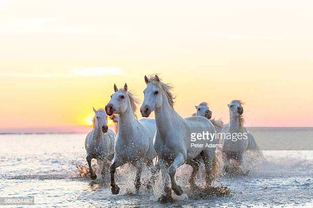 camargue white horses running in water at sunset - cheval blanc photos et images de collection