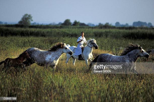 Camargue woman on horseback in Camargue France Bouches du Rhone regional natural park of Camargue gathering horses a camargue horse is a breed of...