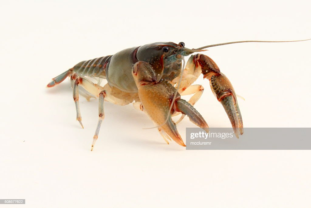 Cambarus ludovicianus crayfish : Stock Photo
