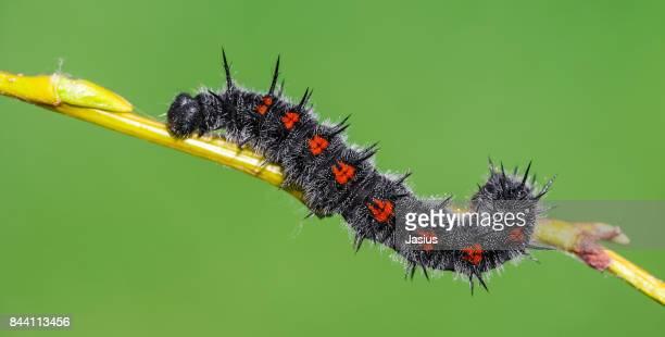 Camberwell Beauty butterfly caterpillar