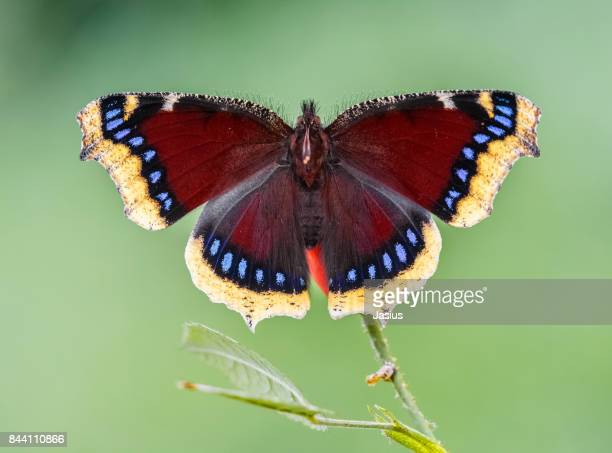 camberwell beauty butterfly - camberwell - fotografias e filmes do acervo