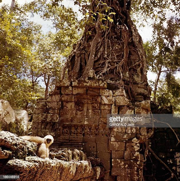 Angkor Temples Cambodge 1961 Angkor Vat le plus grand des temples du complexe monumental d'Angkor Un gibbon s'est posé sur les basreliefs séculaires...