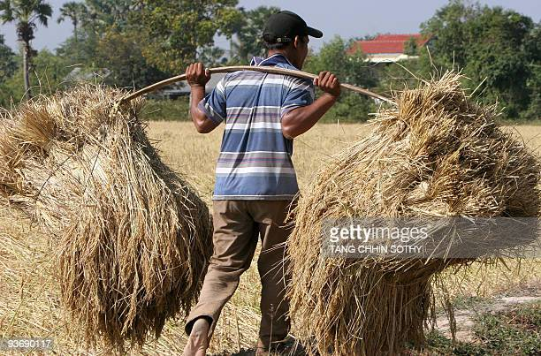 A Cambodian farmer carries rice in a field during the harvest season in Kampong Speu province some 50 kilometers west of Phnom Penh on December 20...