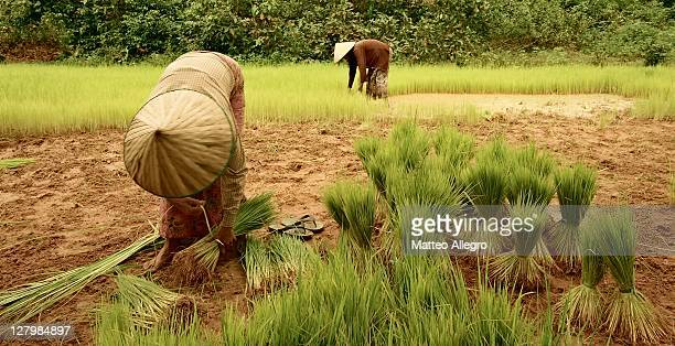 Cambodian farmers collecting rice