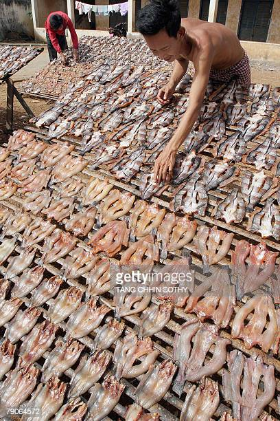 Cambodian men turn dry fish that are dried under the sun light in Phnom Penh 17 January 2008 As the fishcatching season has begun in Cambodia the...